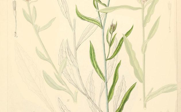 <b>Kleinfedrige Flockenblume - <i>Centaurea microptilon</i></b>