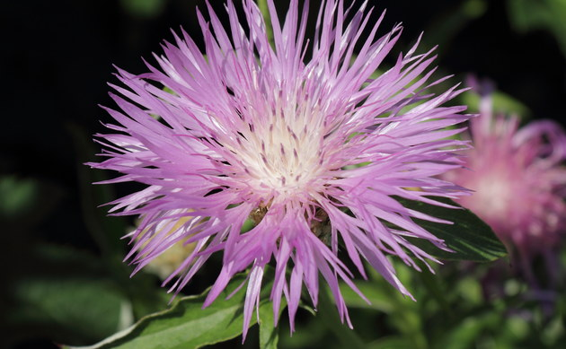 <b>Phrygische Flockenblume - <i>Centaurea phrygia</i></b>