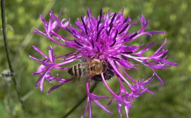 <b>Skabiosen Flockenblume - <i>Centaurea scabiosa</i></b>