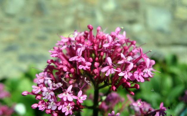 <b>Rote Spornblume - <i>Centranthus ruber</i></b>