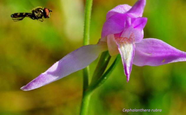 <b>Rotes Waldvögelein - <i>Cephalanthera rubra</i></b>