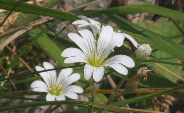 <b>Alpen-Hornkraut - <i>Cerastium alpinum</i></b>