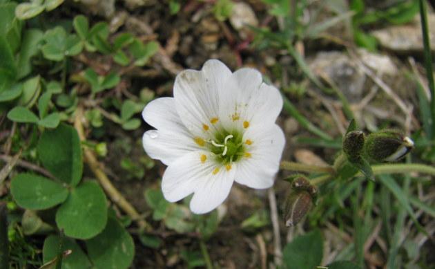 <b>Dreigriffeliges Hornkraut - <i>Cerastium cerastoides</i></b>