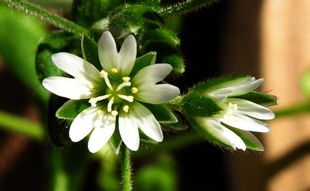 <b>Quellen-Hornkraut - <i>Cerastium fontanum</i></b>