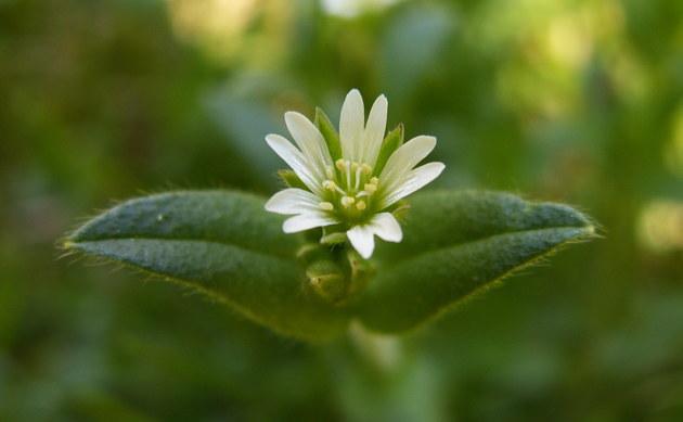 <b>Knäuel-Hornkraut - <i>Cerastium glomeratum</i></b>