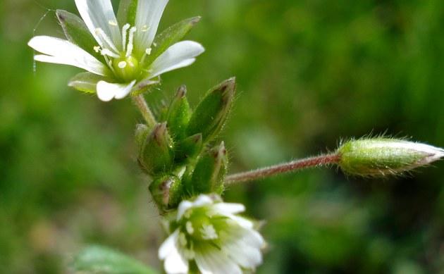 <b>Gewöhnliches Hornkraut - <i>Cerastium holosteoides</i></b>