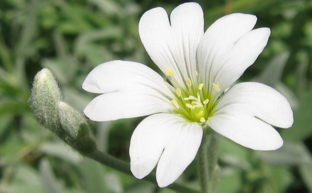 <b>Filziges Hornkraut - <i>Cerastium tomentosum</i></b>