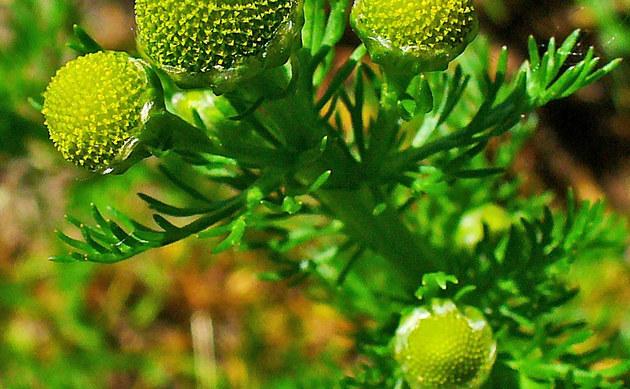 <b>Strahlenlose Kamille - <i>Matricaria discoidea</i></b>