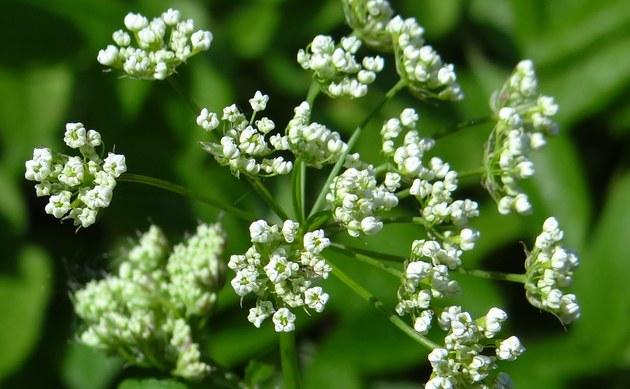 <b>Aromatischer Kälberkropf - <i>Chaerophyllum aromaticum</i></b>