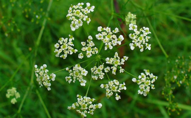 <b>Knolliger Kälberkropf - <i>Chaerophyllum bulbosum</i></b>