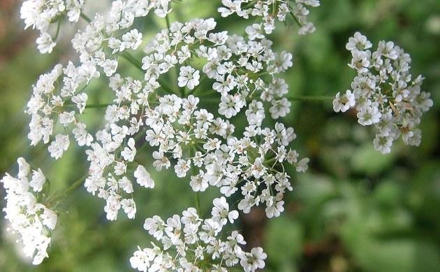 <b>Hecken Kälberkropf - <i>Chaerophyllum temulum</i></b>