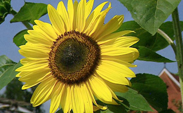<b>Sonnenblume - <i>Helianthus annuus</i></b>