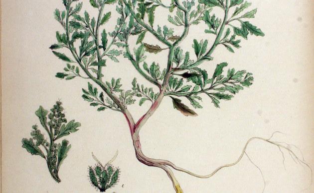 <b>Klebriger Gänsefuß - <i>Chenopodium botrys</i></b>