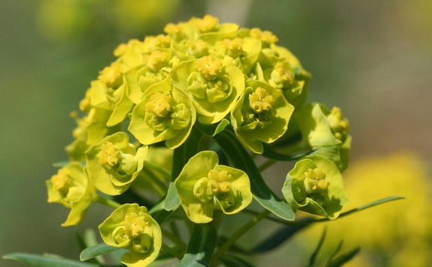 <b>Zypressen-Wolfsmilch - <i>Euphorbia cyparissias</i></b>