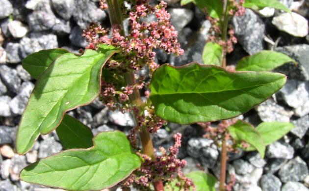 <b>Vielsamiger Gänsefuß - <i>Chenopodium polyspermum</i></b>