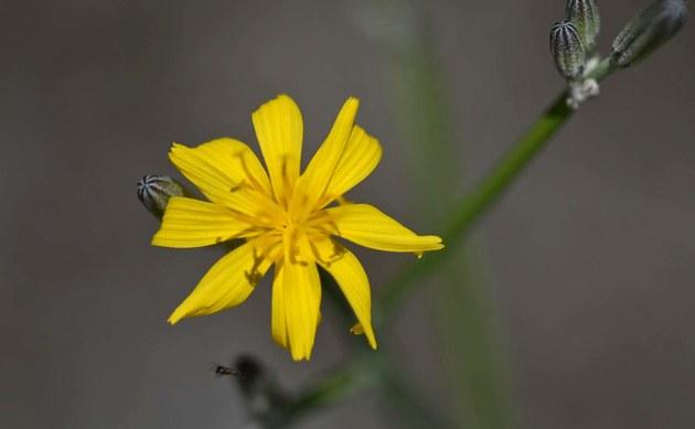 <b>Großer Knorpellattich - <i>Chondrilla juncea</i></b>