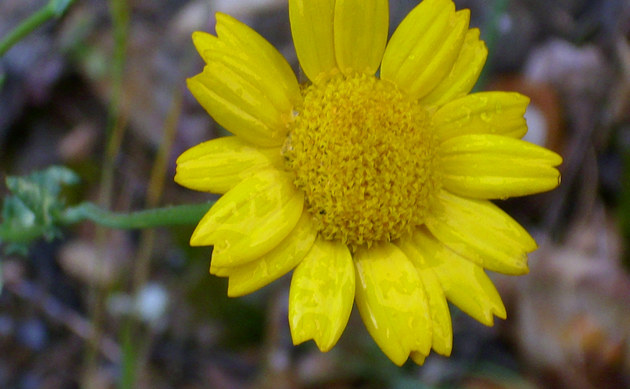 <b>Saat-Wucherblume - <i>Chrysanthemum segetum</i></b>
