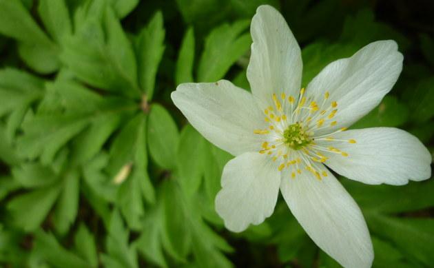 <b>Busch-Windröschen - <i>Anemone nemorosa</i></b>