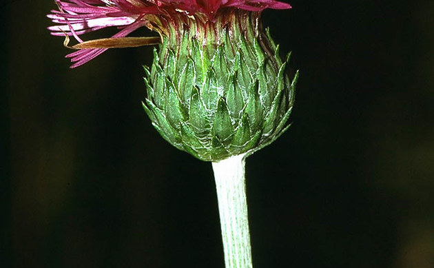 <b>Knollige Kratzdistel - <i>Cirsium tuberosum</i></b>