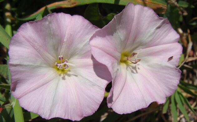 <b>Acker-Winde - <i>Convolvulus arvensis</i></b>