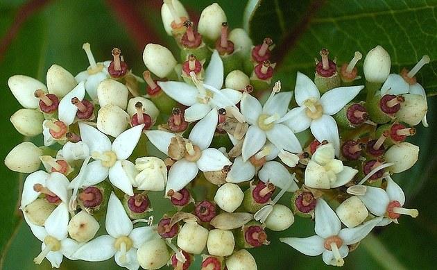 <b>Weißer Hartriegel - <i>Cornus alba</i></b>