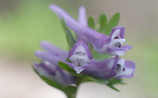 <b>Zwerg-Lerchensporn - <i>Corydalis pumila</i></b>