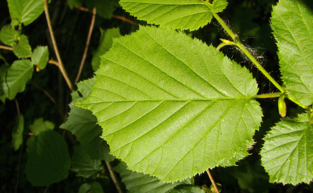 <b>Haselnuß - <i>Corylus avellana</i></b>