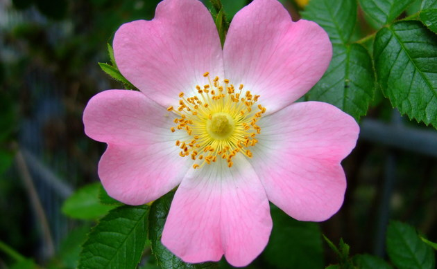 <b>Hunds-Rose - <i>Rosa canina</i></b>