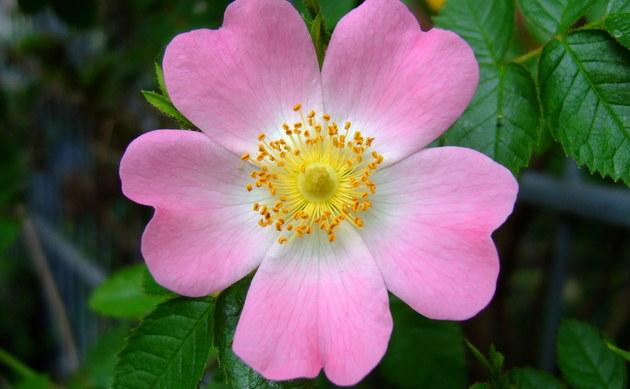 <b>Hunds-Rose - <i>Rosa canina</i></b>