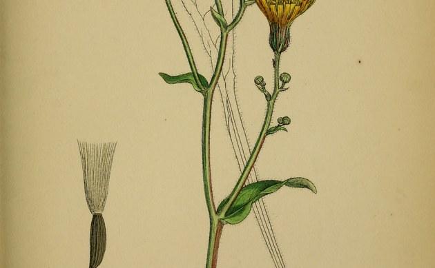 <b>Weichhaariger Pippau - <i>Crepis mollis</i></b>