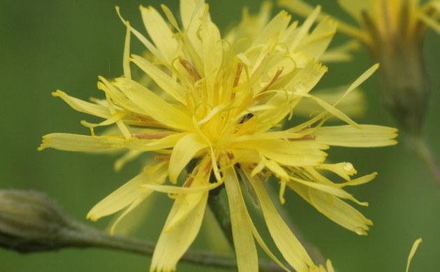 <b>Abgebissener Pippau - <i>Crepis praemorsa</i></b>