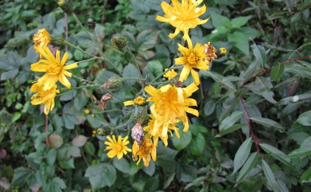 <b>Schöner Pippau - <i>Crepis pulchra</i></b>