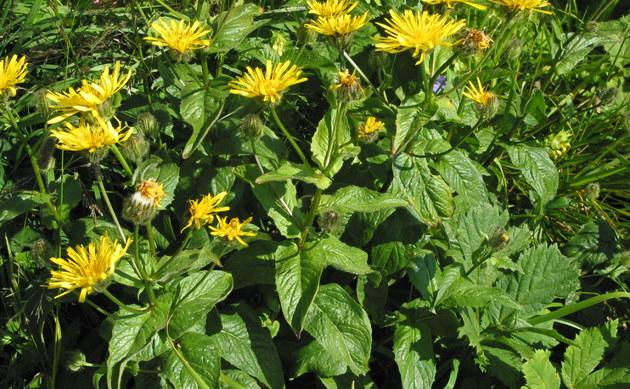 <b>Schabenkraut-Pippau - <i>Crepis pyrenaica</i></b>