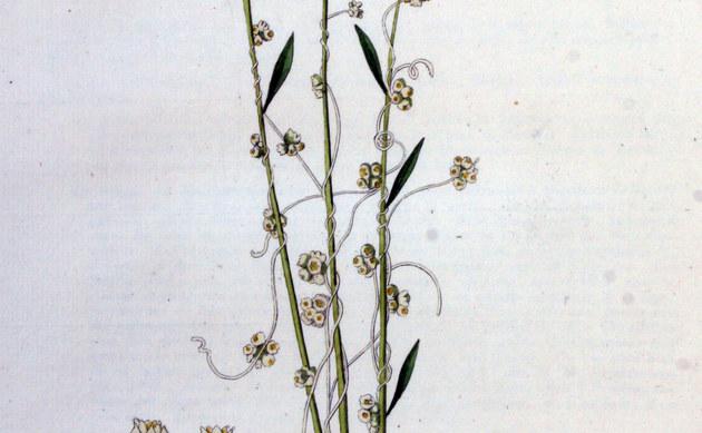 <b>Flachs-Seide - <i>Cuscuta epilinum</i></b>