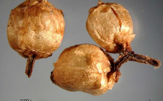 <b>Gronovius Seide - <i>Cuscuta gronovii</i></b>