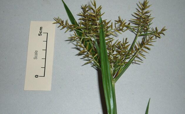 <b>Erdmandel - <i>Cyperus esculentus</i></b>