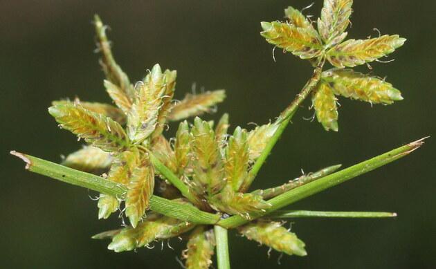 <b>Gelbliches Zypergras - <i>Cyperus flavescens</i></b>