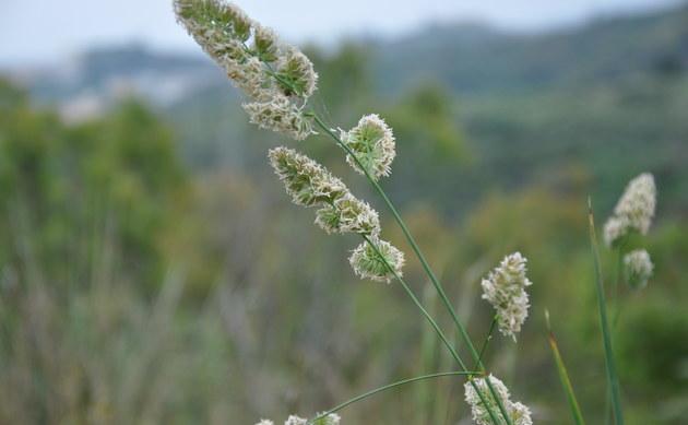 <b>Wiesen-Knäuelgras - <i>Dactylis glomerata</i></b>