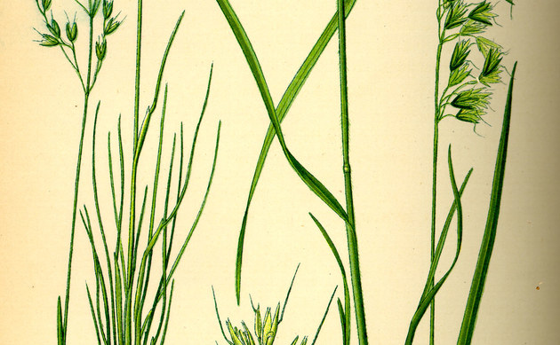 <b>Moor-Schmiele - <i>Deschampsia setacea</i></b>