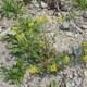 Hain-Felsenblümchen