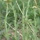Feinblättrige Wiesen-Schafgarbe - Achillea setacea