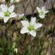 Frühlings-Miere