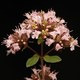 Oregano - Origanum vulgare