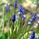 Sumpf-Kreuzblümchen