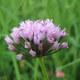 Kantiger Lauch - Allium angulosum