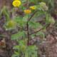 Kleines Flohkraut - Pulicaria vulgaris