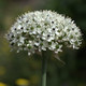 Schwarzer Lauch - Allium nigrum
