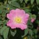 Flaum-Rose