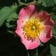 Apfel-Rose