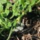 Westamerikanischer Fuchsschwanz